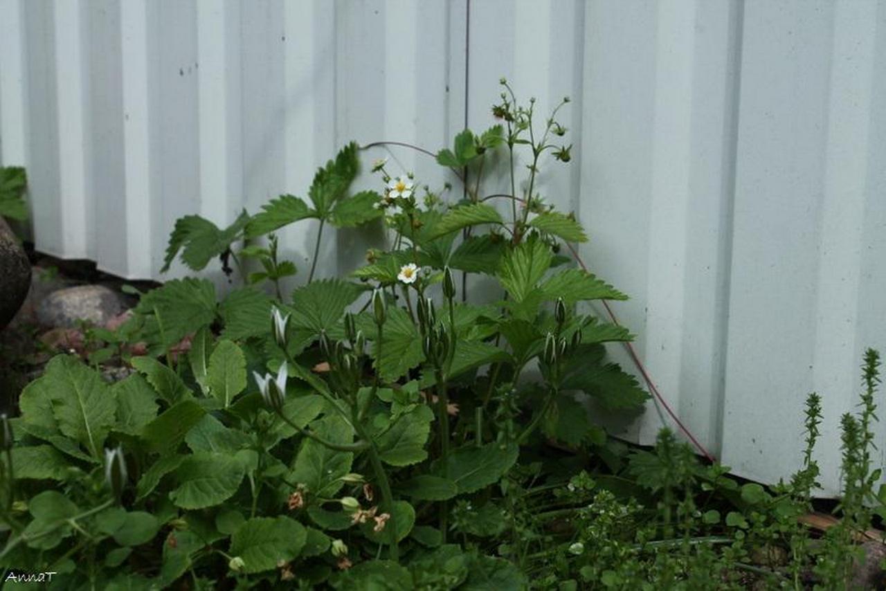 земляника огород цветение