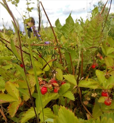 лето земляника ягоды