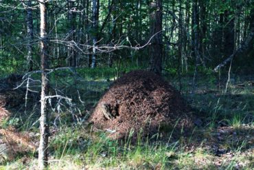лес муравейник чаща