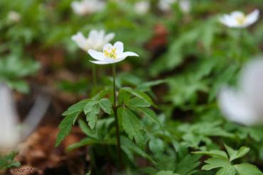 подснежник, цветок, лес, весна, природа