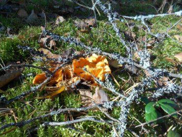 лес, грибы, лисичка, мох, солнце, лето, осень