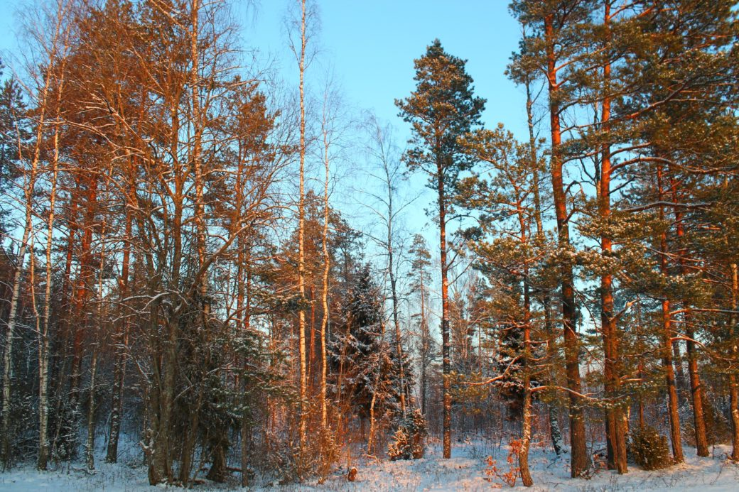 лес, сосны, небо, зима