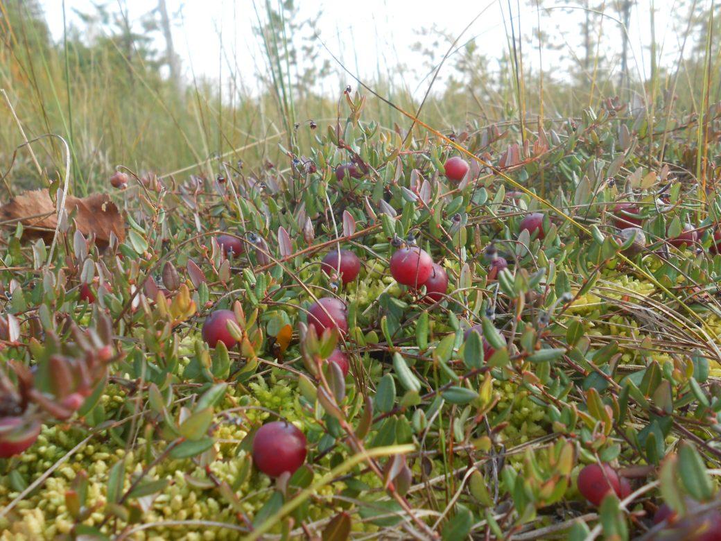 лес, ягоды, клюква, мох, солнце, лето, осень