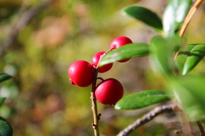 лес, ягоды, брусника, мох, солнце, лето, осень