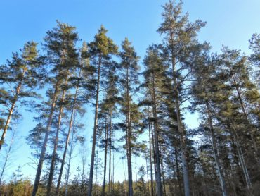 сосны, небо, лес, весна, апрель, деревья, sky, forest, pine trees