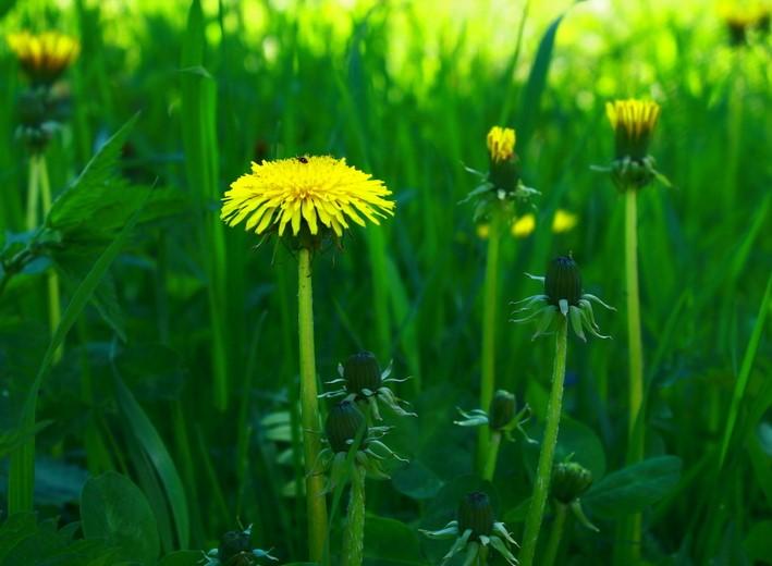 одуванчик, варенье из одуванчиков, весеннее варенье, варенье из цветов, лекарственные травы, весна