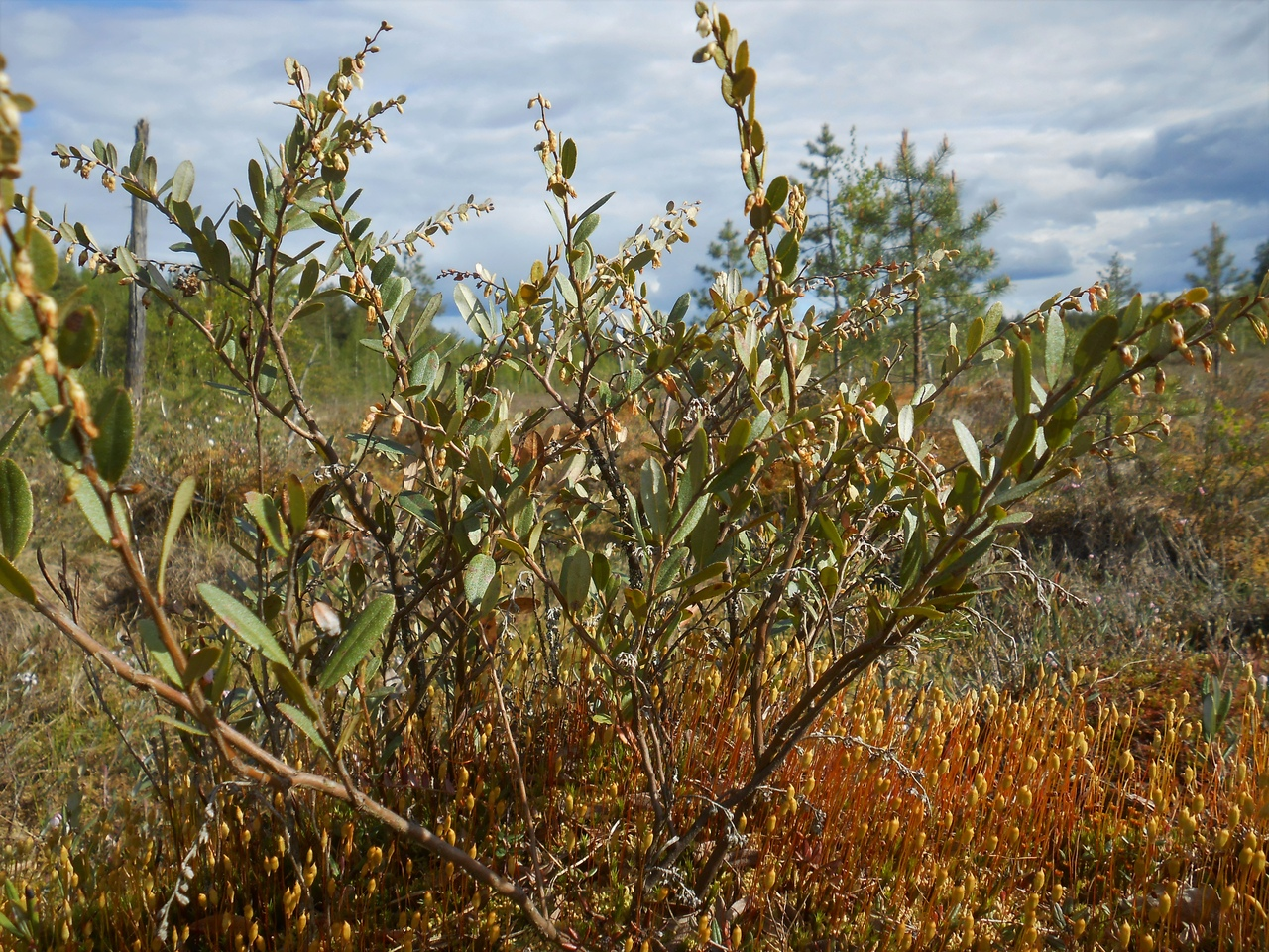 болото, семейство вересковые, растения болот, весеннее болото, хамедафна обыкновенная
