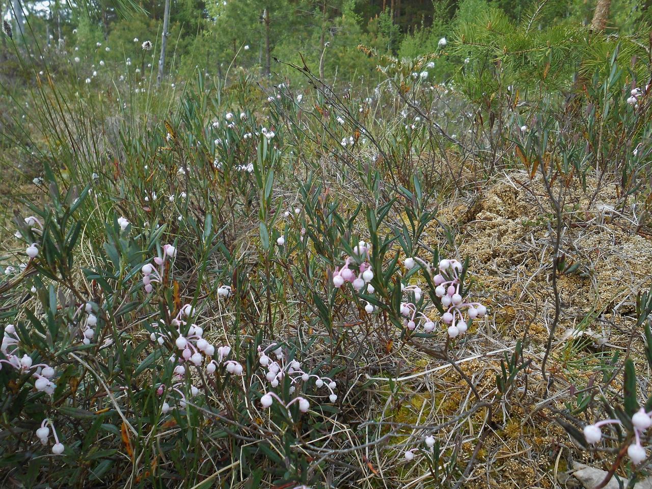 болото, семейство вересковые, растения болот, весеннее болото, подбел многолистный