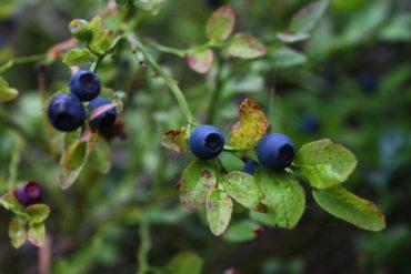 черника, лес, здоровье, лесные ягоды, лесная аптека, черничник