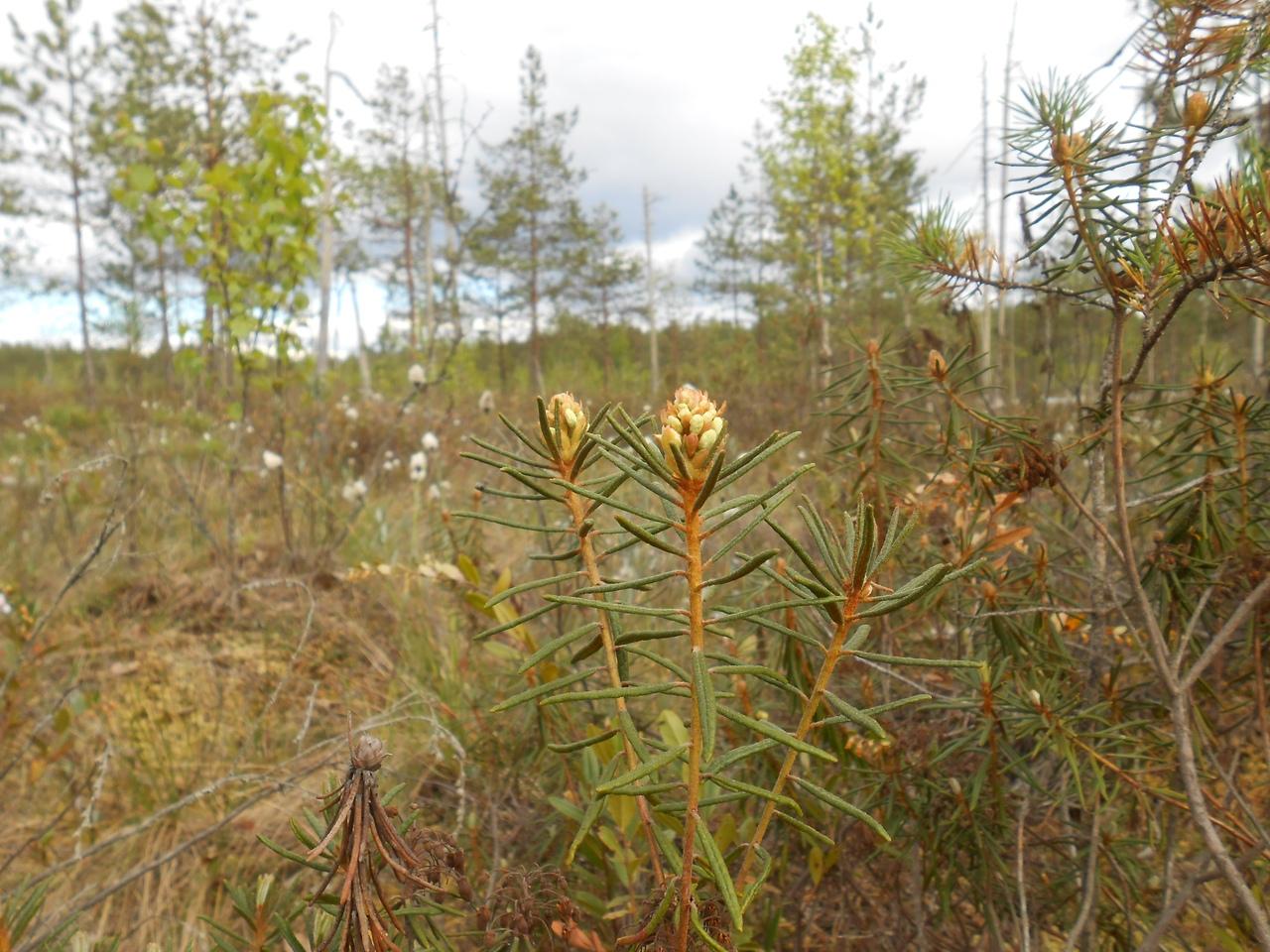 болото, семейство вересковые, растения болот, весеннее болото,багульник болотный