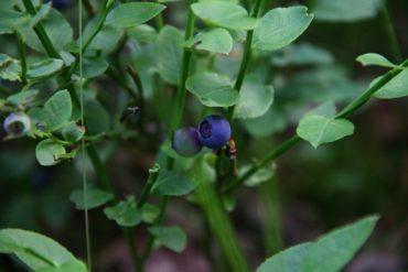 черника, лес, лесные ягоды, черничник