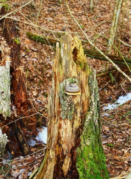 лес, трутовик, триходерма, плодородие почвы, почвенные грибки гнилушки